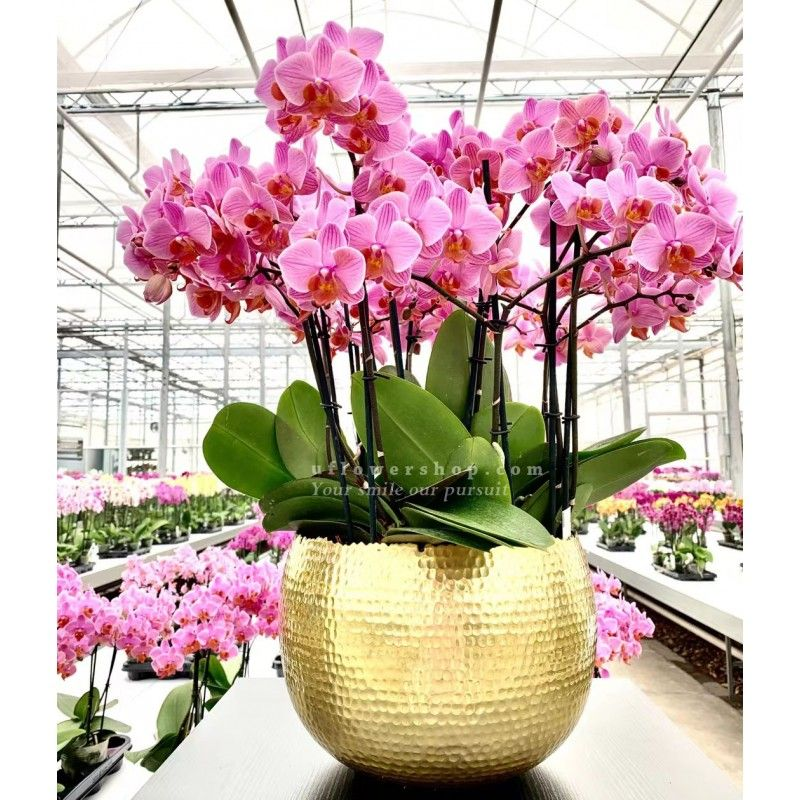 Orchid- Gold and Jade - ORF1128U