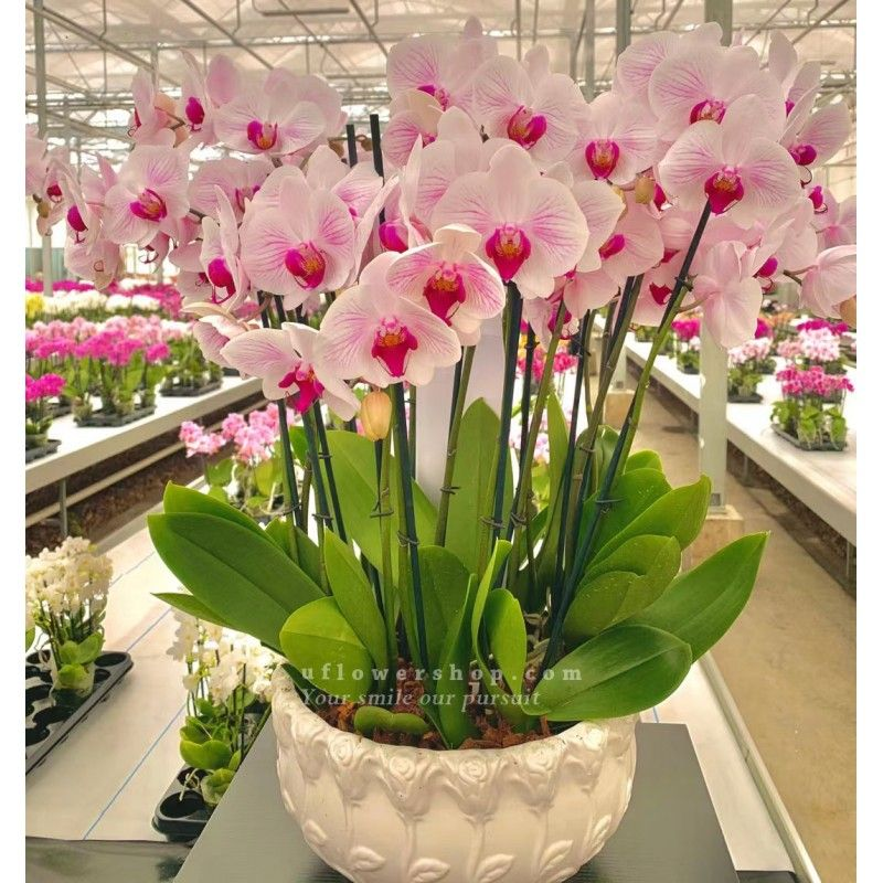 Orchid-Purify - ORF1006B