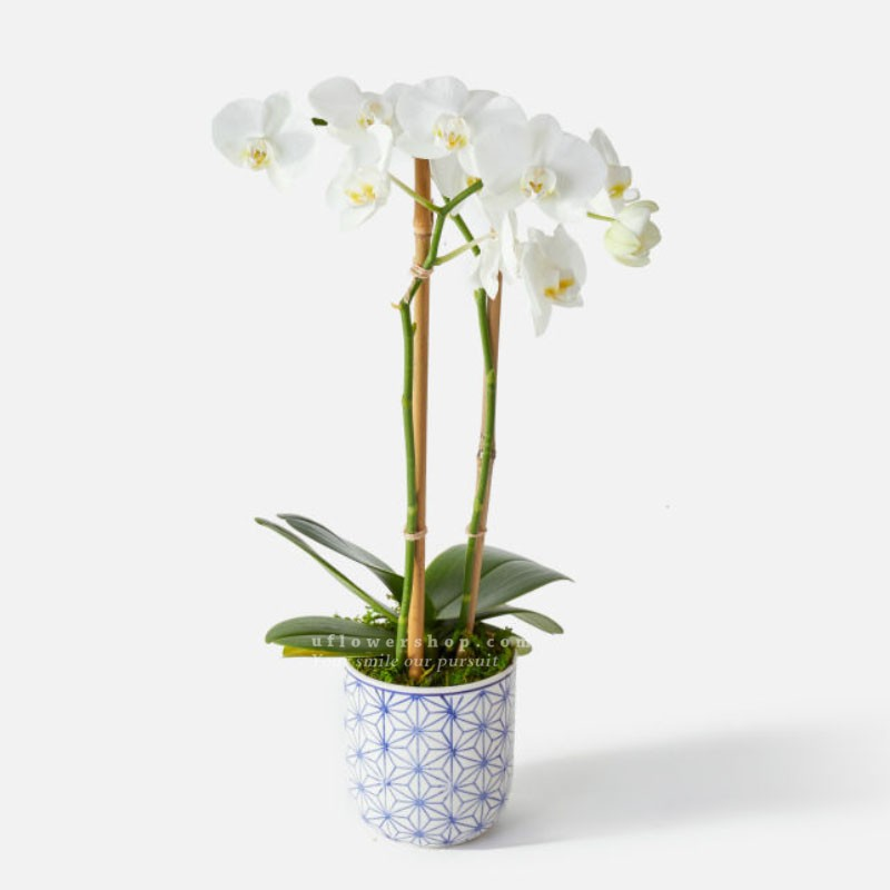 Orchid-Sweet